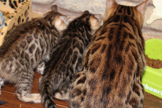 販売 ベンガル子猫