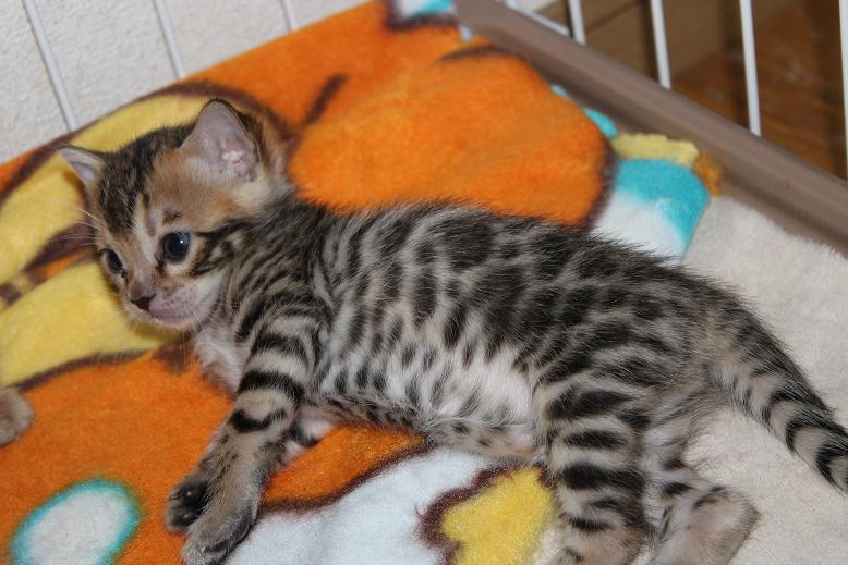 ベンガル子猫 しぐさがかわいい 可愛い盛りです画像